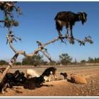 Funny-Goat-15-140x140