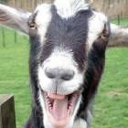 Funny-Goat-35-140x140